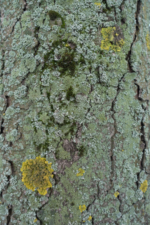 Bark of tree densely covered with moss, yellow and blue green lichen 写真素材
