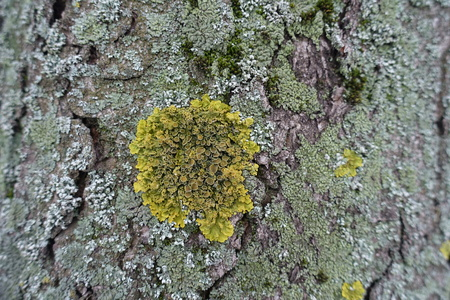 Round yellow Xanthoria parietina on tree bark covered with moss and lichen 写真素材