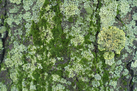 Surface of tree bark covered with moss and light green lichen 写真素材