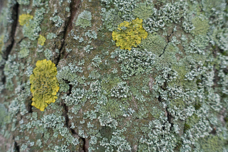 Bark of tree covered with yellow and grayish green lichen