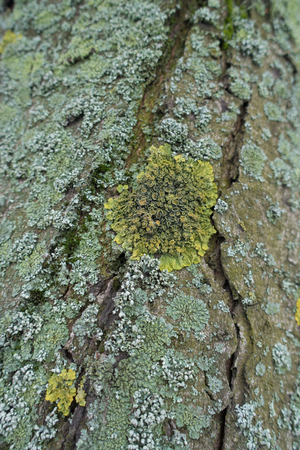 Blue green and yellow lichens on tree bark