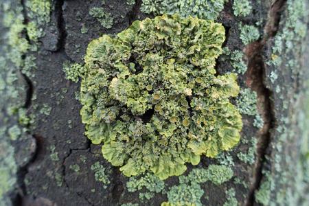 Close view of yellow Xanthoria parietina lichen