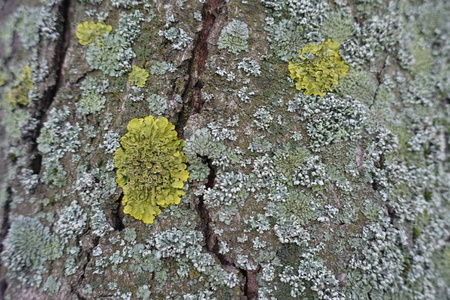Tree bark covered with yellow and grayish green lichen
