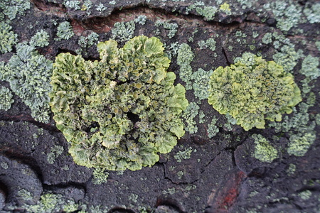 Two yellow Xanthoria parietina lichens on tree bark