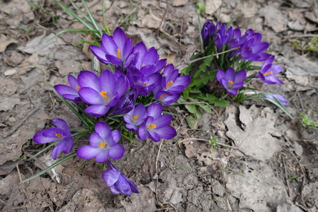 Group of purple crocus flowers in early spring Reklamní fotografie