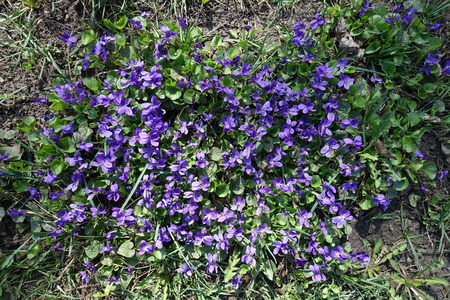 Cluster of flowering purple dog violets in spring Stock Photo