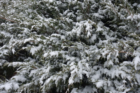 Evergreen foliage of savin juniper covered with snow in winter