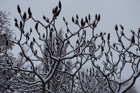 Leafless branches of Rhus typhina covered with snow Stok Fotoğraf
