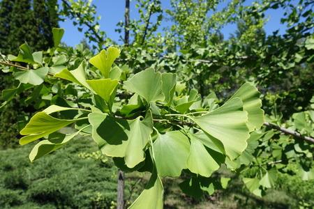 Fan shaped leaves of ginkgo biloba tree 版權商用圖片