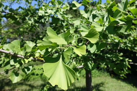 Leaves of ginkgo biloba tree in May 版權商用圖片