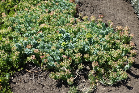 Fleshy pale glaucous bluish-green leaves and yellow flowers of myrtle spurge Standard-Bild