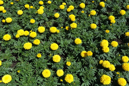 Top view of yellow marigolds in bloom