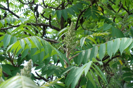 Cluster of flowers of Rhus typhina in May
