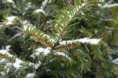Snow on yew branches with immature male cones
