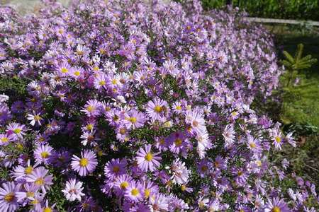 Many pink flowers of Michaelmas daisies in the garden