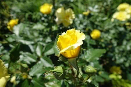 Half opened yellow flower of garden rose