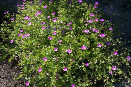 Geranium sanguineum in full bloom in late May Stock Photo