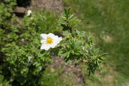 Small white five petaled flower of shrubby cinquefoil Stock Photo