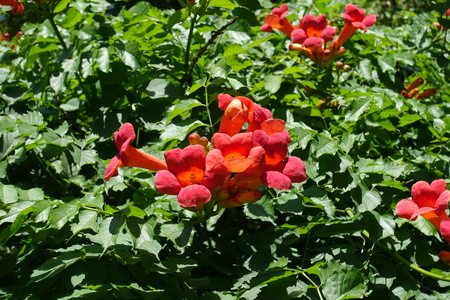 Showy red flowers of Campsis radicans in summer Stock Photo