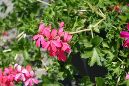 Closeup of pink flowers of ivy leaved geranium Stock Photo