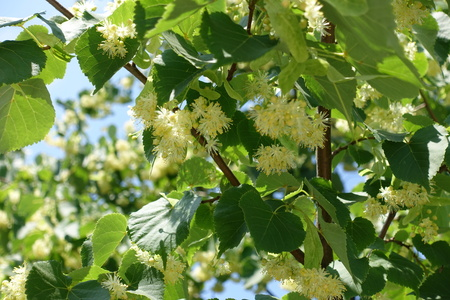 Greenish yellow flowers on branches of linden against blue sky Фото со стока