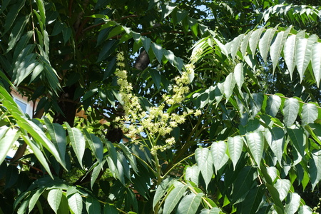 Flowers of Ailanthus altissima in late June