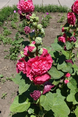 Erect stems of common hollyhock with double red flowers