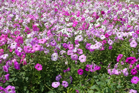 Plenty of flowering petunias in various shades of pink