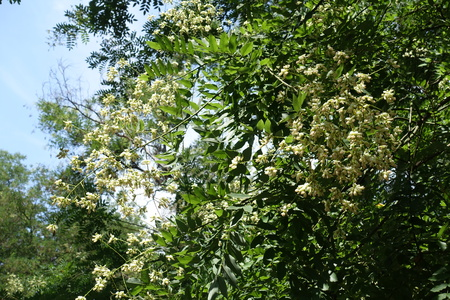 Creamy white flowers on branches of Sophora japonica