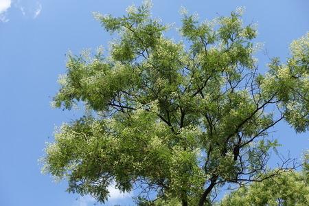 Flowering Sophora japonica tree against blue sky Archivio Fotografico
