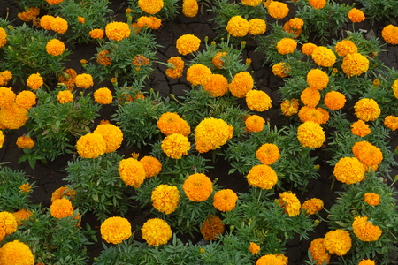 Flowerbed of bright orange flowers of Tagetes erecta