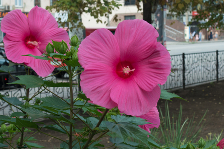 Pair of big pink flowers of Hibiscus moscheutos