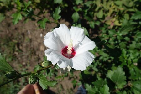 Maroon eyed white flower of Hibiscus syriacus
