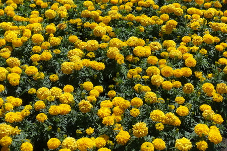 Lots of yellow flower heads of African marigolds