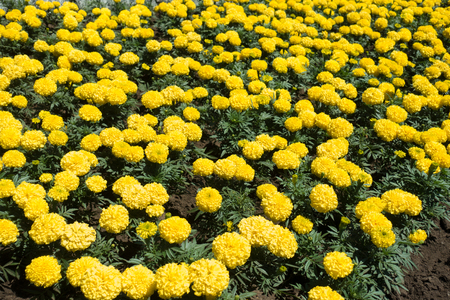 Plenty of yellow flower heads of African marigolds