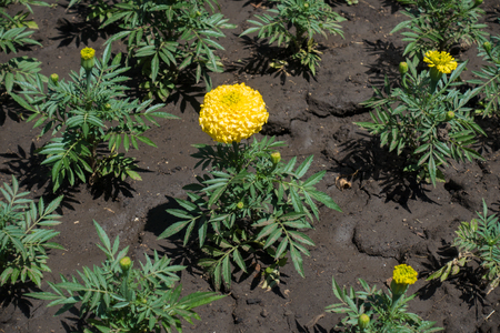 Single yellow flower of African marigold in May