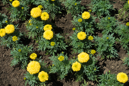 Top view of yellow African marigolds in the garden