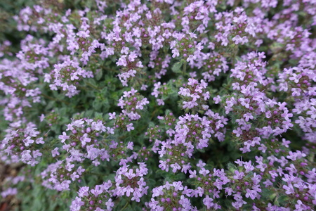 Close view of mauve flowers of Thymus praecox Stock Photo