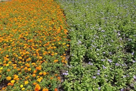 Flowerbed with orange marigolds and violet flossflowers (vertical)