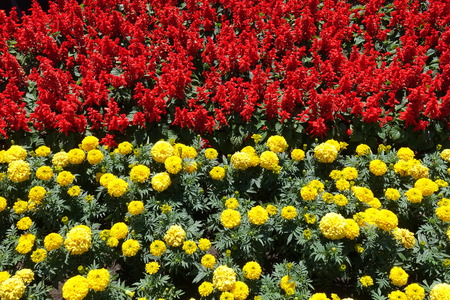 Flowerbed - red tropical sage and yellow marigold