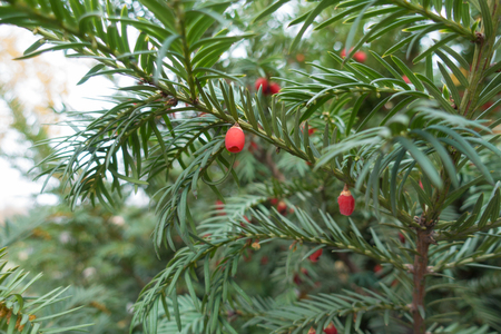 Shoots of yew with dark green leaves and red berries 免版税图像