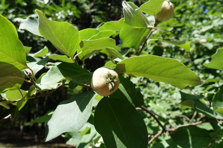 Pubescent fruit of quince tree in August