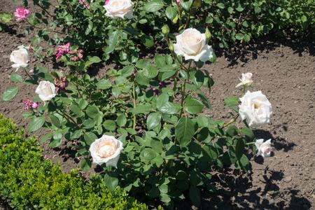 Pale pinkish white flowers of rose bush Stock Photo