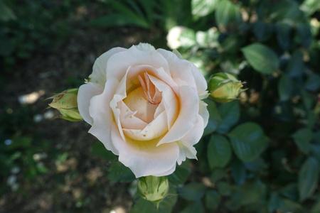 Pale pink flower of rose in June