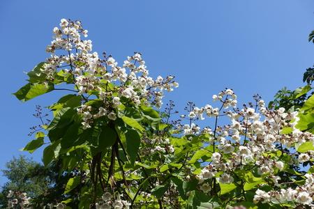 White flowers of catalpa tree against blue sky Stock fotó