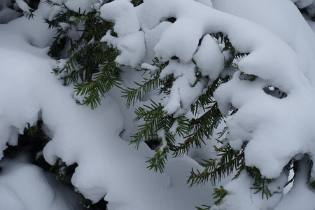 Plenty of snow on branches of yew in January Stock fotó