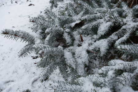 Gray green foliage of spruce covered with snow in January Stock Photo