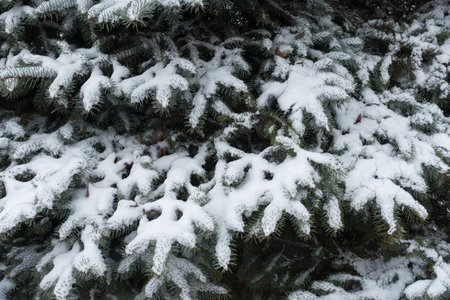 Grayish green needles of blue spruce covered with snow