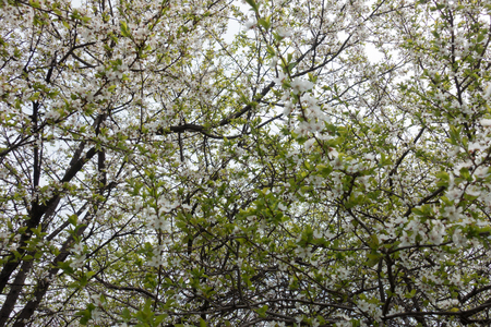 Green foliage and white flowers of Prunus cerasifera in spring