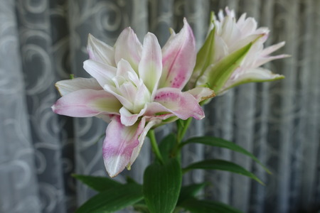 Showy pink and white flowers of double oriental lilies Stock Photo
